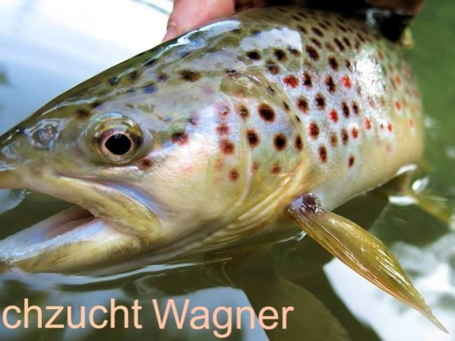besatzfische-bachforellen-2